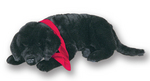 Black Labrador  SOLD OUT